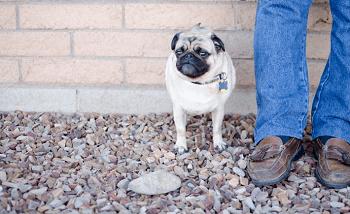 Dog at Gerard's Feet - Trainer