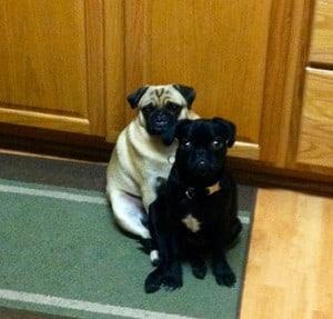 My Pugs